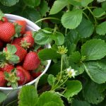 How to Grow and Harvest Strawberries | The Definitive Guide