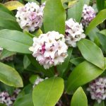 Daphne Plant | How to Grow It in Your House