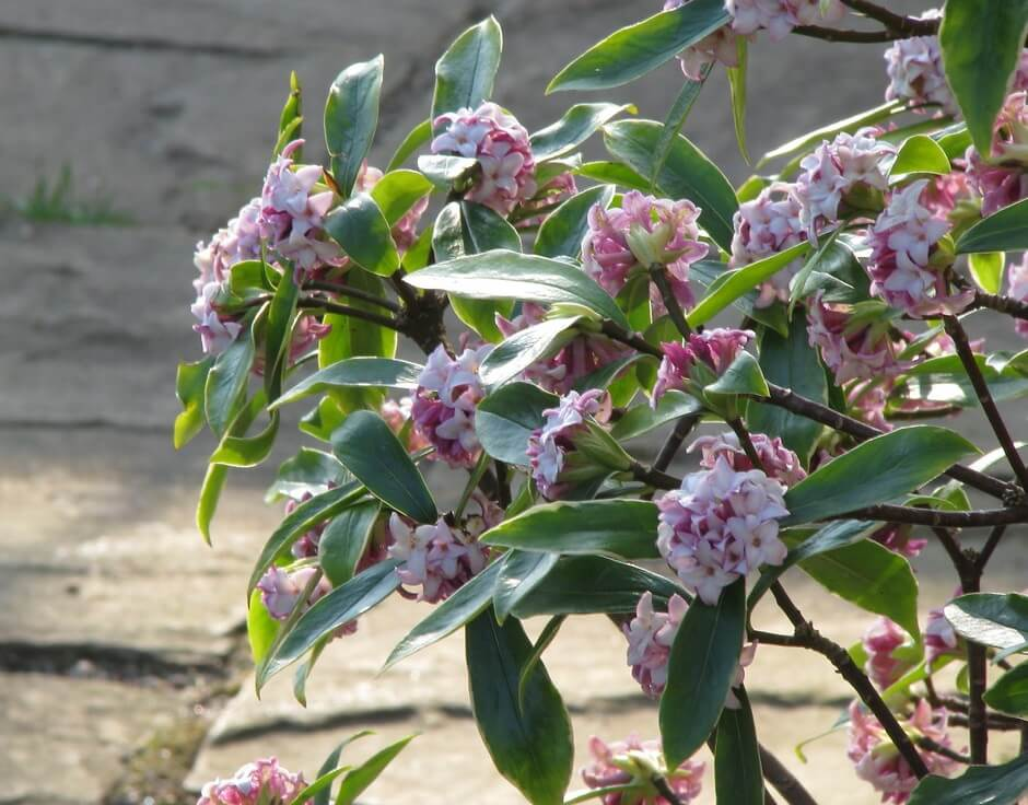 Daphne Plant- How to Grow It in Your House