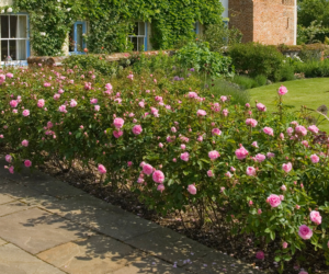 rose shrubs
