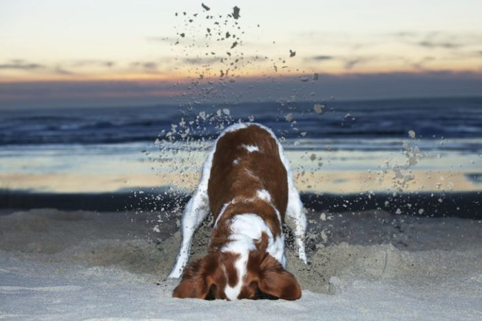 why does my dog dig? identify and channel your dog's digging instincts