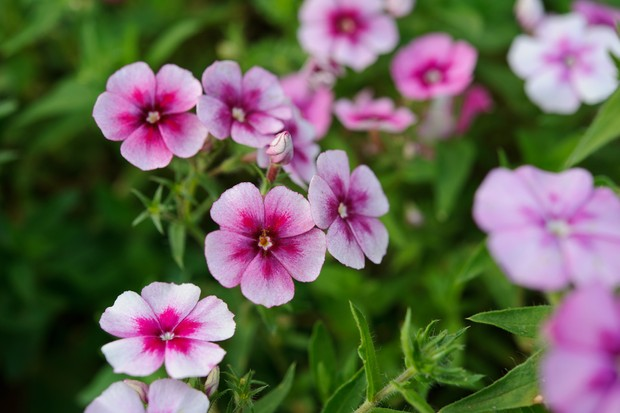 12 key plants for a cottage garden