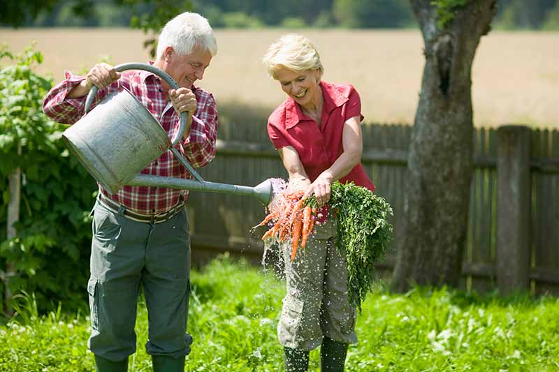 How and When to Harvest Carrots   Gardener's Path