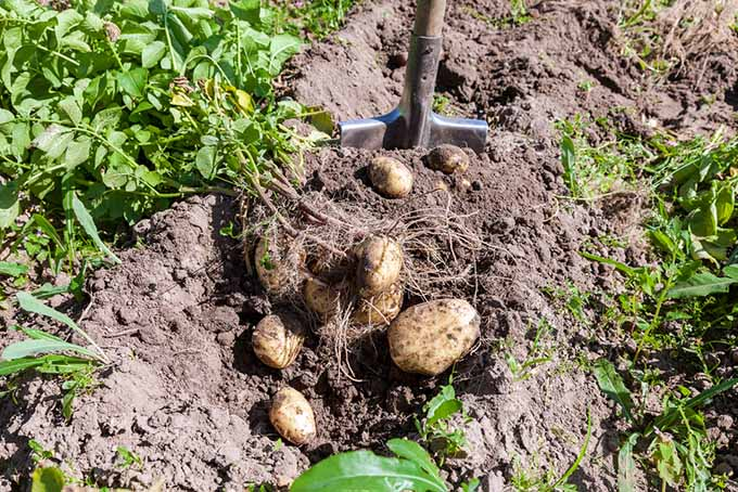 when and how to harvest homegrown potatoes   gardener's path