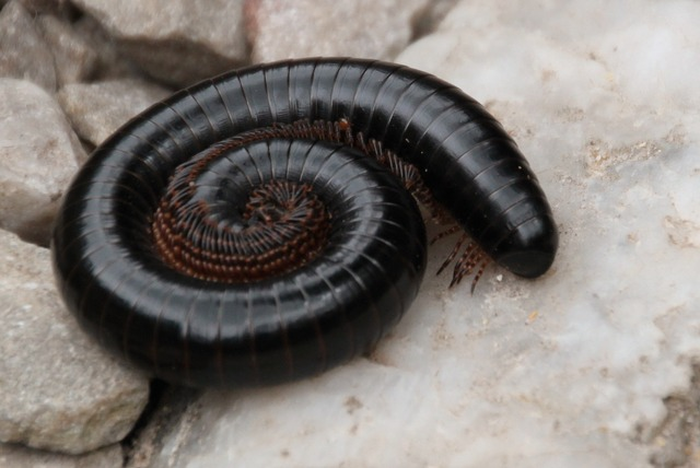 how to get rid of millipedes naturally (fast and easy!)   bugwiz