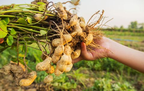 growing your own peanuts is actually ridiculously easy