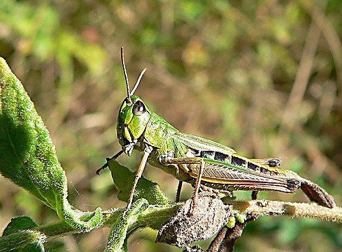 how to get rid of grasshoppers: natural grasshopper control | epic gardening