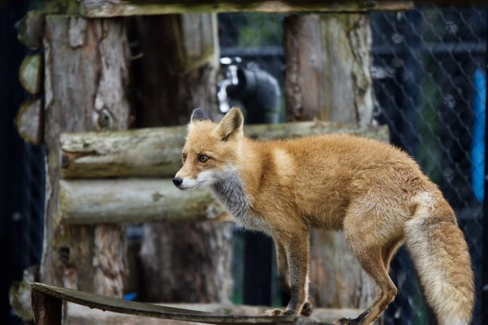 How To Get Rid of Foxes in Your Garden? | Fantastic Pest Control