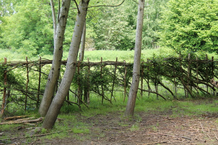 learn hedge laying like a pro
