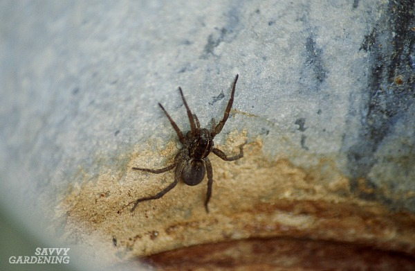 Garden Spider: A Welcome Friend or a Scary Foe?