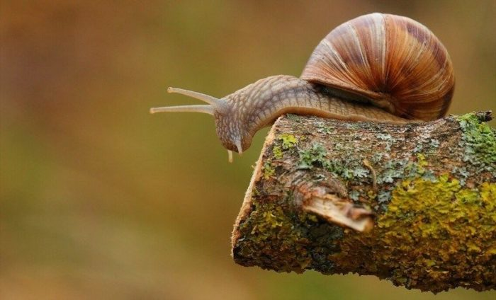 Curious Kids: How long would garden snails live if they were not eaten by another animal?