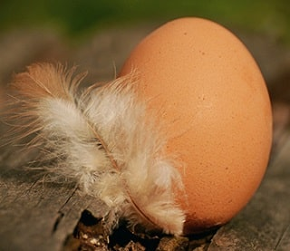 how easy is it to keep chickens in the garden?